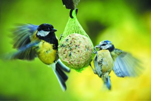 birds-fat-balls
