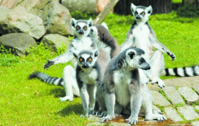 Lemurs at Camperdown Wildlife Centre